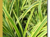 Carex trifida 'Rekohu Sunrise' foliage