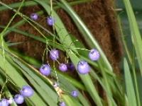 Dianella nigra