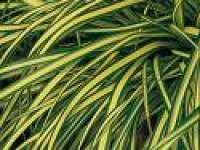 Carex Evergold foliage