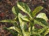 Aucuba crotonoides foliage