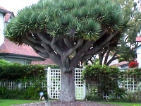 Dracaena draco Mature tree