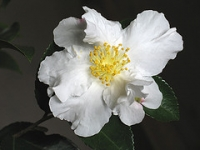 Camellia sasanqua 'Setsugekka' flower