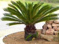 Cycas Revoluta cycad
