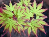 Acer Senkaki Spring Foliage