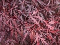 Acer Tamkeyama spring/summer Foliage