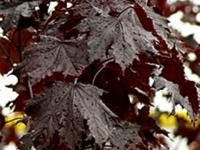 Acer Nigrum Foliage