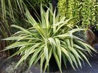 Beschoneria yuccoides variegata