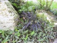 Blechnum pennamarina