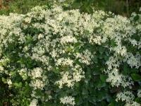 Clematis paniculata climber groundcover