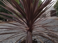 Cordyline Midnight Star