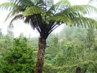 Cyathea medullar tree fern