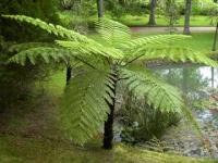Cyathea smithii tree fern