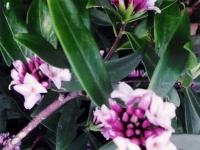Daphne odora leucanthe flower
