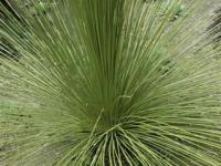 Dasylirion longissimum mexican grass tree