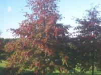 Quercus palustrus