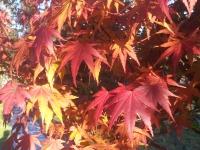 Acer Palmatum Autumn Foliage