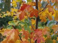 Acer platinoides Princeton autumn  Foliage