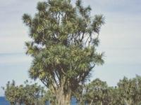 Cordyline australis mature