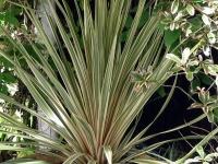 Cordyline albertii foliage