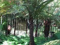 Dicksonia squarrosa