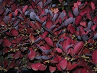 Pseudowintera Burgundy Delight foliage close up