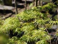 Acer seiryu spring foliage