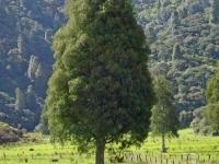 Dacrycarpus dacrydiodes mature tree Kahikitea
