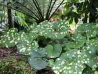 Farfugium Aureo maculata