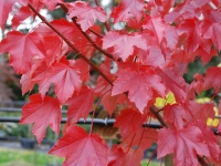 Acer october glory autumn colour
