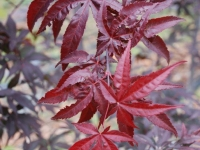 acer Red Emperor close up