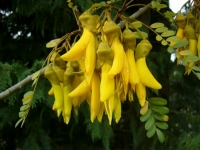 Sophora tetraptera flower
